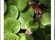 Pirola, plantas medicinales