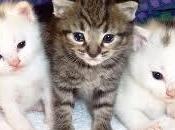 Ventajas desventajas adquisición gato