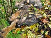 cazadores asturianos podrán matar lobos Parques Nacionales convierten reservas caza