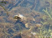 ranas desarrollan rápidas defensas ante acoso especies invasoras