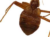 busca: cimicidae
