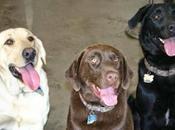 saber sobre perros labradores