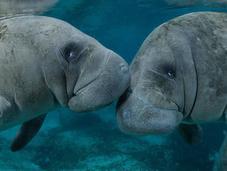 Gigantes gentiles peligro extinción: Espectaculares fotografías Manatíes