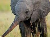 Solo elefante