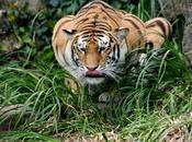 Aumenta población tigres India 2014