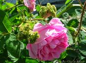 jardín sostenible (I): concepto rosas.