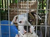Adoptar Perro Labrador ¿Qué preguntas tenemos hacer?