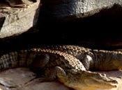 increíble supervivencia cocodrilos desierto