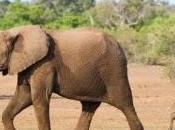 elefante. Verdadero peligro extinción