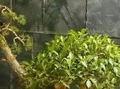 Ficus Olmo primeros 2015