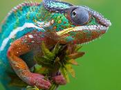 Revelado secreto como camaleones cambian color