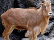 Especies invasoras, arruí muflón atlas