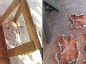Segunda fase curtido nuestras pieles conejo (Arqueología experimental).