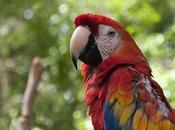 Guacamayo rojiamarillo (Scarlet Macaw) macao