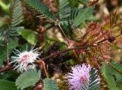 Travesura mujeres, Mimosa pudica