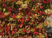 Fotinia robin, arbusto elegante colorido.