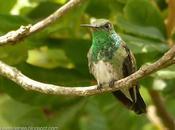 Picaflor garganta verde (Glittering-throated Emerald) Amazilia fimbriata