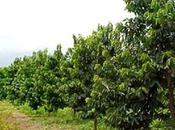Cultivo Guanabana Graviola