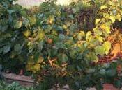 Albaricoque, nueva fruta huerto