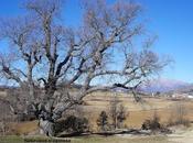 Robles Cajigar (Árboles Singulares Huesca)