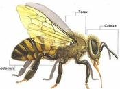 Anatomía externa abeja external anatomy bee.