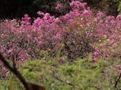 Arupo, árbol ornamental endémico zona ecuatoriana