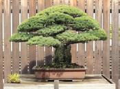 bonsai centenario sobrevivió bomba atómica Hiroshima