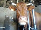 beagle vacas