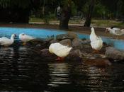 abandono patos Parque Morales