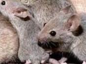 Cómo podemos prevenir controlar ratas
