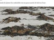 vienen algas: crónica plaga inexistente