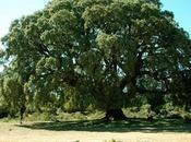 ¿Cuál árbol abundante España?