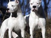 Dogo Argentino, gran cazador!