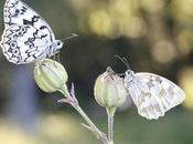 Melanargia russiae lachesis (Esper's marbled white Iberian white)