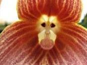 orquídea cara mono