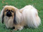 características comunes sobre raza perros Pequinés