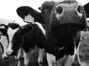 ¿Por sagradas vacas India?