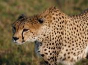 Tengo alumno guepardo.