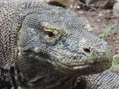 busca dragón Komodo. Isla Flores. Indonesia.