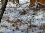 valiente cabra hace huir tigre siberiano