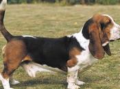 particulares increíble raza perros Basset Hound