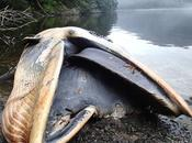 ballenas encontraron muertas varamientos grandes mundo