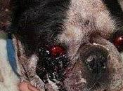 Bulldog frances cruelmente maltratado enterrado vivo gran canarias