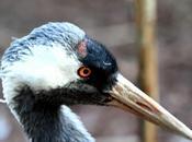 Grullas-grus-crane
