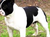 cualidades sabías perros bulldog frances
