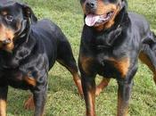 increíbles particularidades perros Rottweiler
