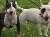 cosas sabías interesantes perros Bull terrier