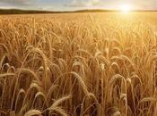 pros contras comer trigo