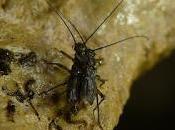 Invertebrado cavernícola jiennense 2016
