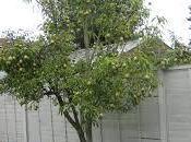 árbol peras...